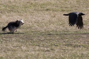Kråka leker med Yorkshireterrier