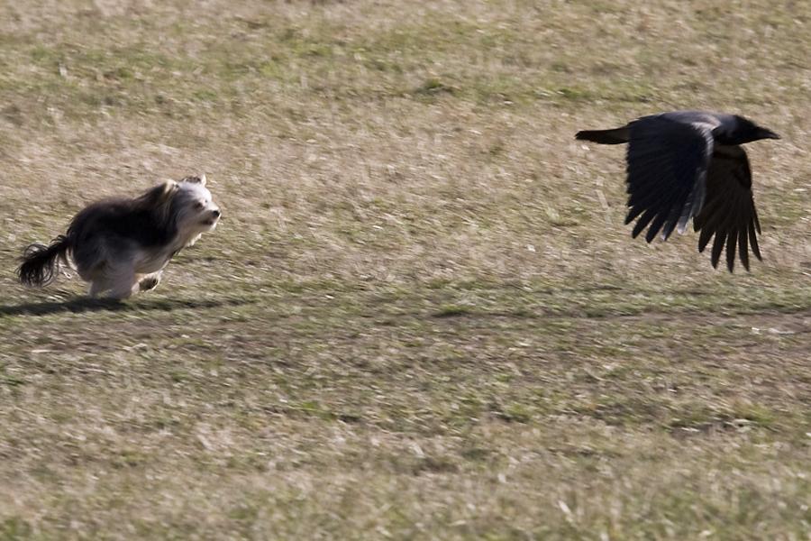 Kråka och Yorkshireterrier