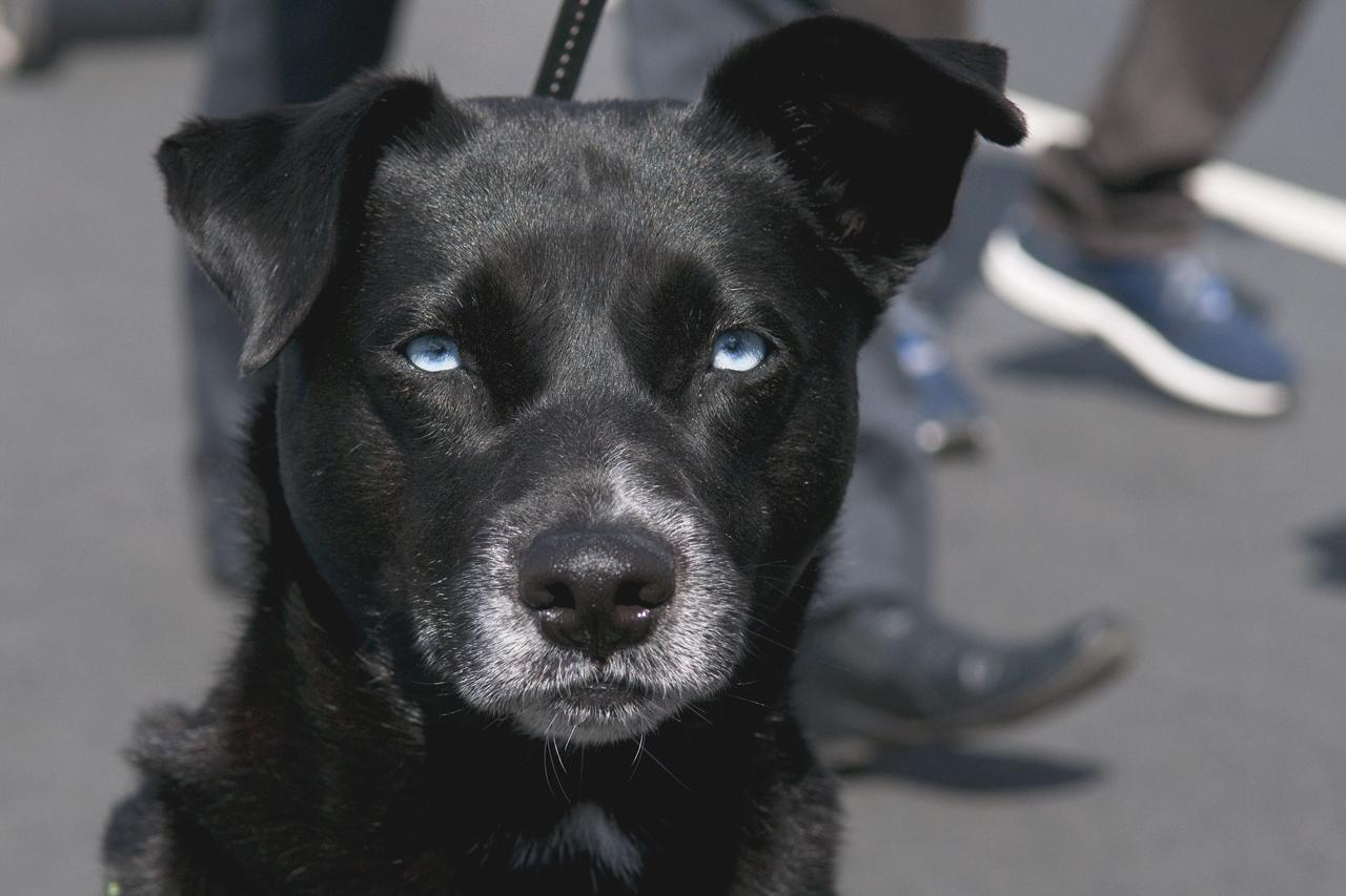 Dexter, labrador/husky