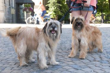 Spontana vovvemöten med dubbelhundsfoto