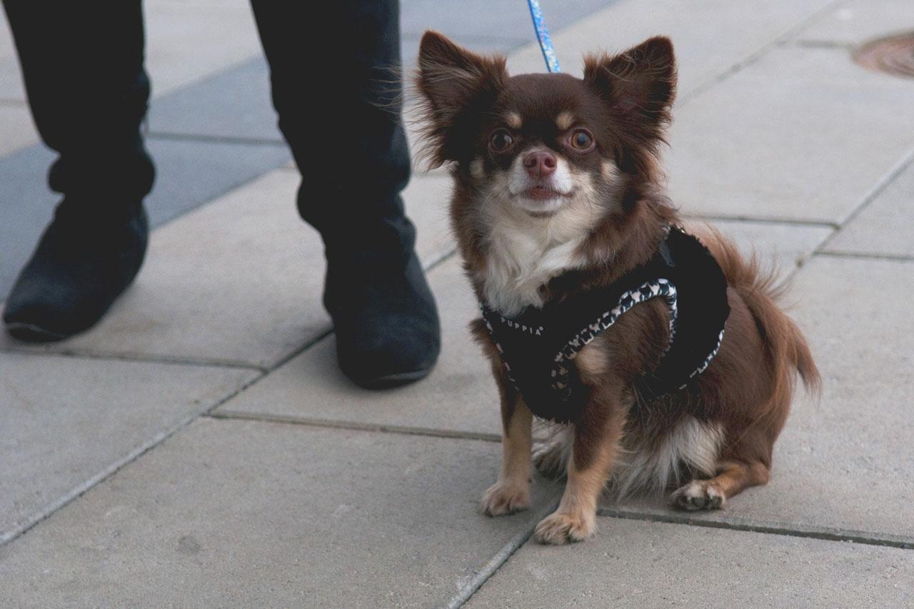 Bamse, Chihuahua