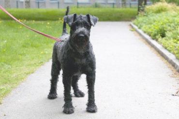 Sickan, Kerry Blue Terrier