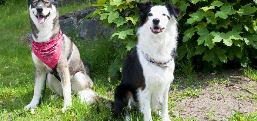 Border collien Ayla och Huskyn Summer är bästa vänner