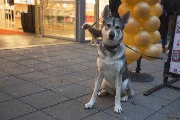 Muna, Tamaskan Wolfdog