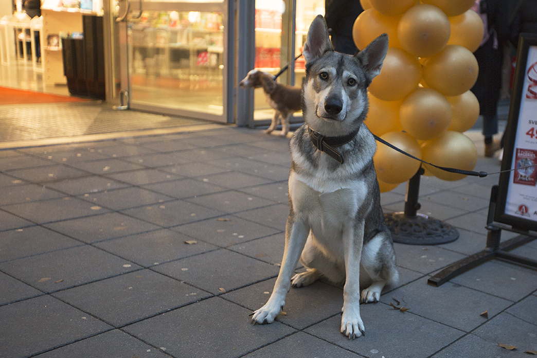 Tamaskan Wolfdog