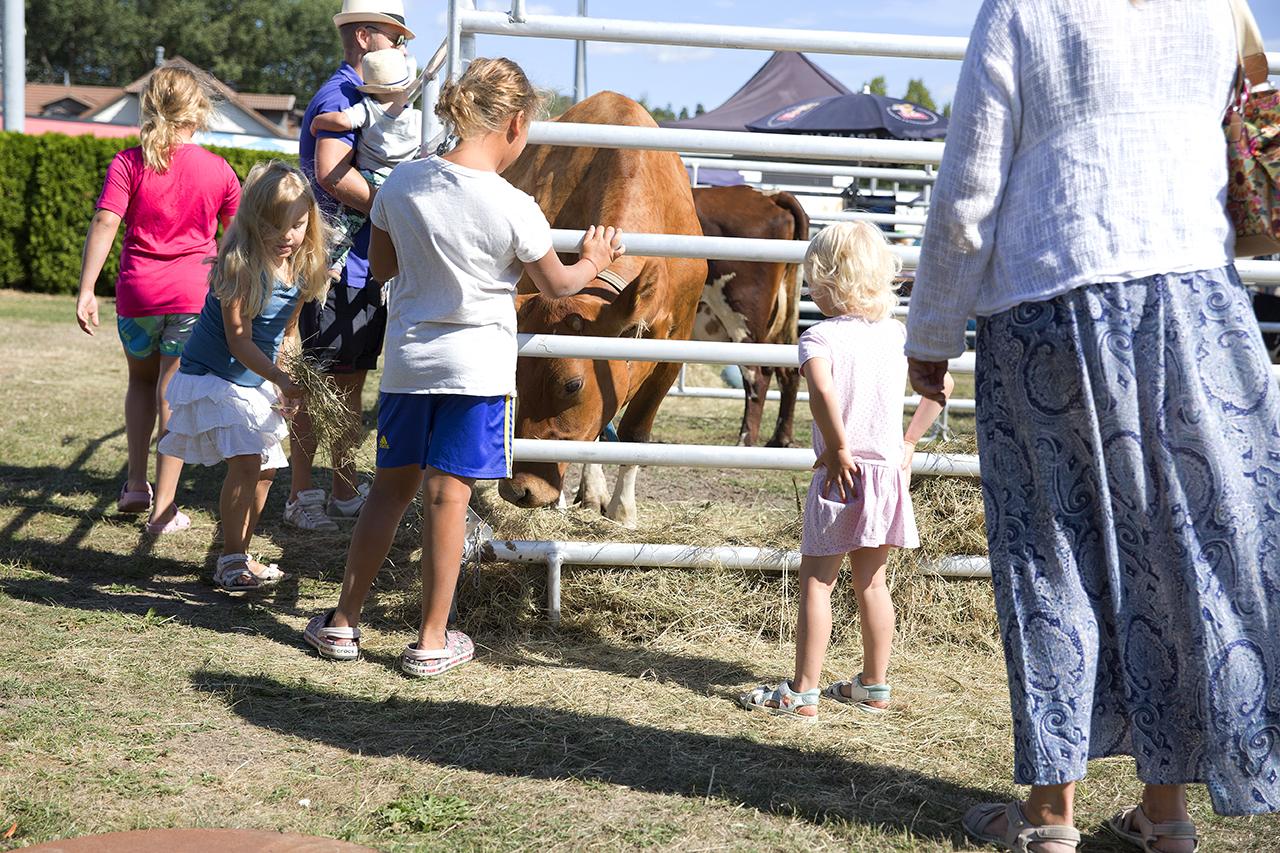 Barn mata kor på Solvalla