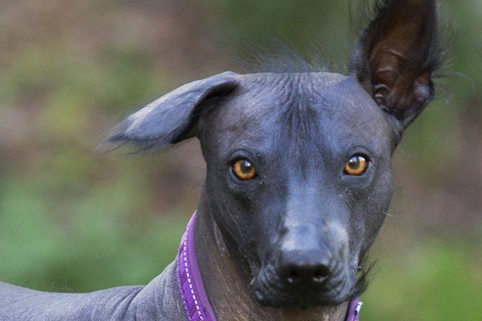 Thalia, Mexikansk nakenhund.