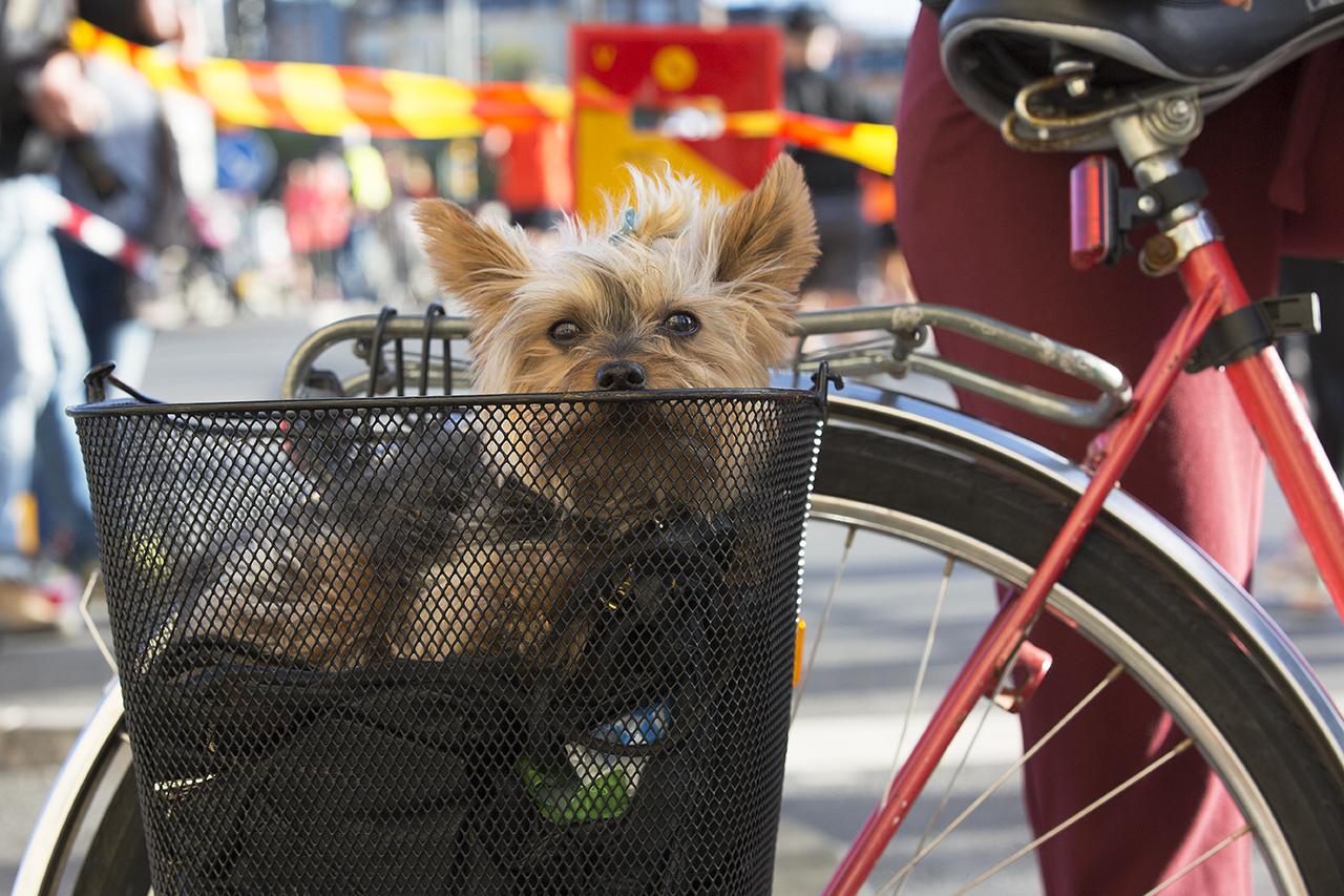 3980bed7685 Ludde hänger med i cykelkorg och kollar halvmarathon – Internetfoto
