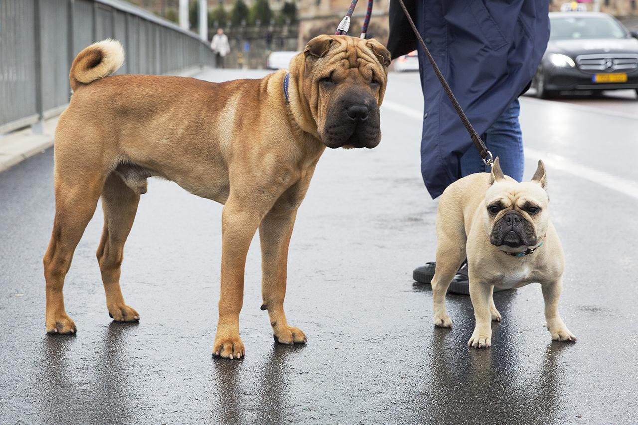 Shar pei Freddie och Selma, Fransk Bulldogg