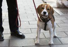 Beagle Abbe, jakthund.