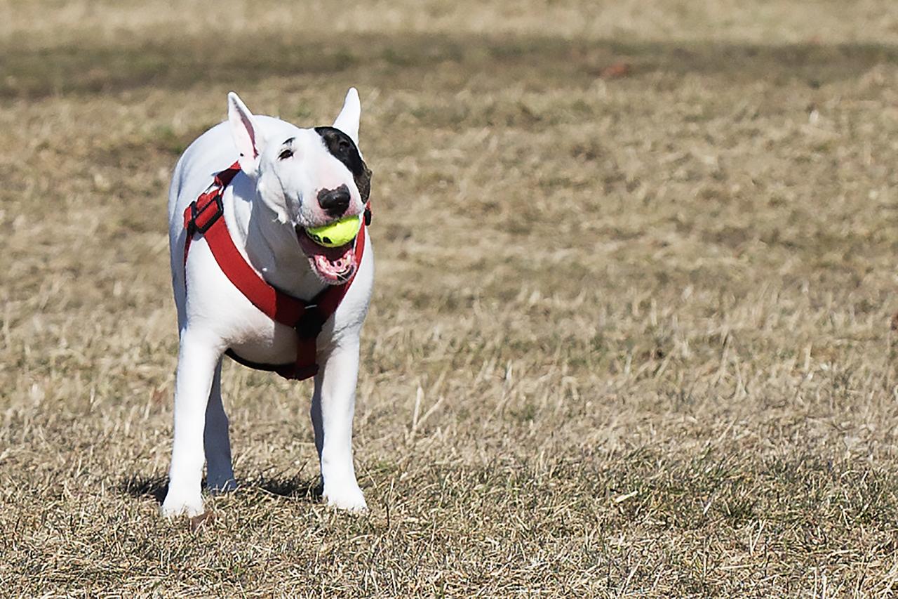 Bullterrierna Vera med KONG-boll.