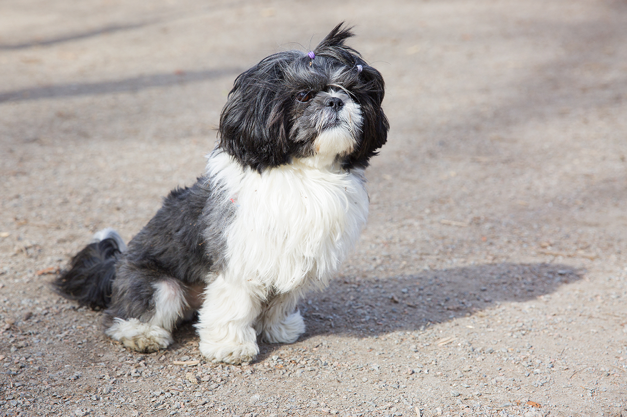 Willy 3 år, Shih Tzu i hundrastgården Humlegården