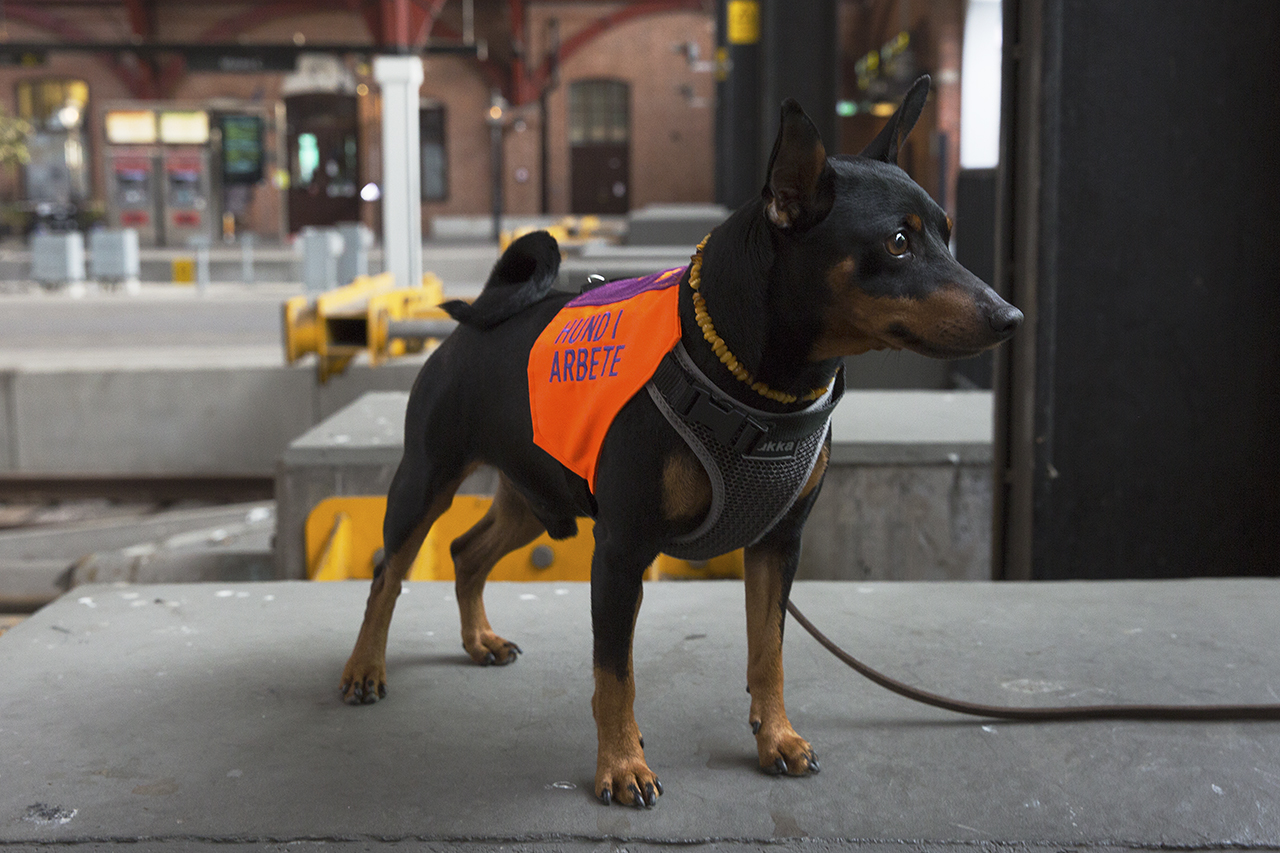 Dvärgpinscher med väst Hund i arbete