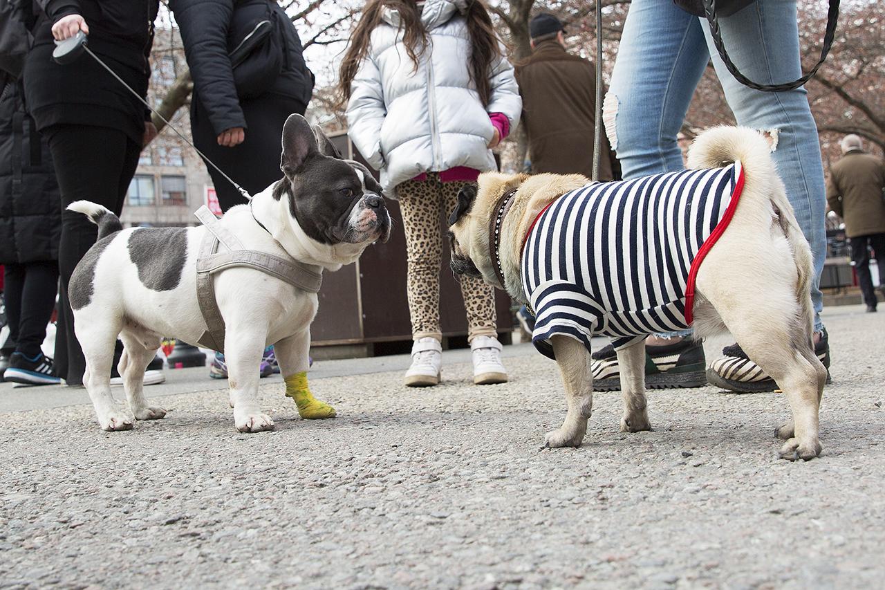 Moppsen Gucci möter fransk bulldog