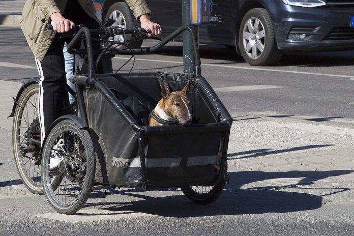 Bullterrier i cykellåda