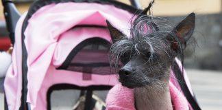 Mosquito, kinesisk nakenhund med frisyr