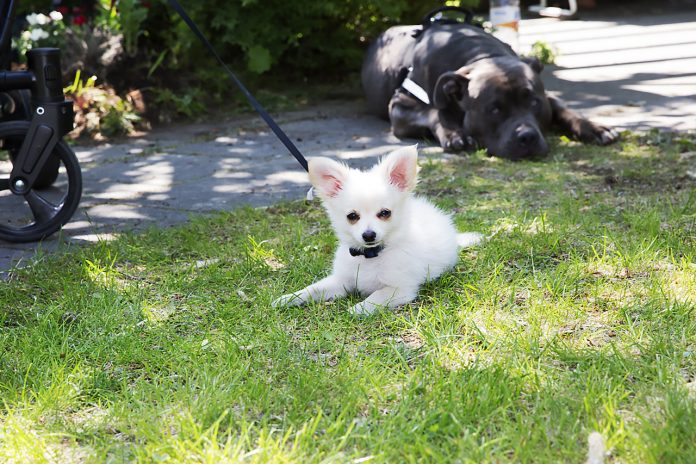 Valpen Bailey träffar unghunden Enzo för första gången
