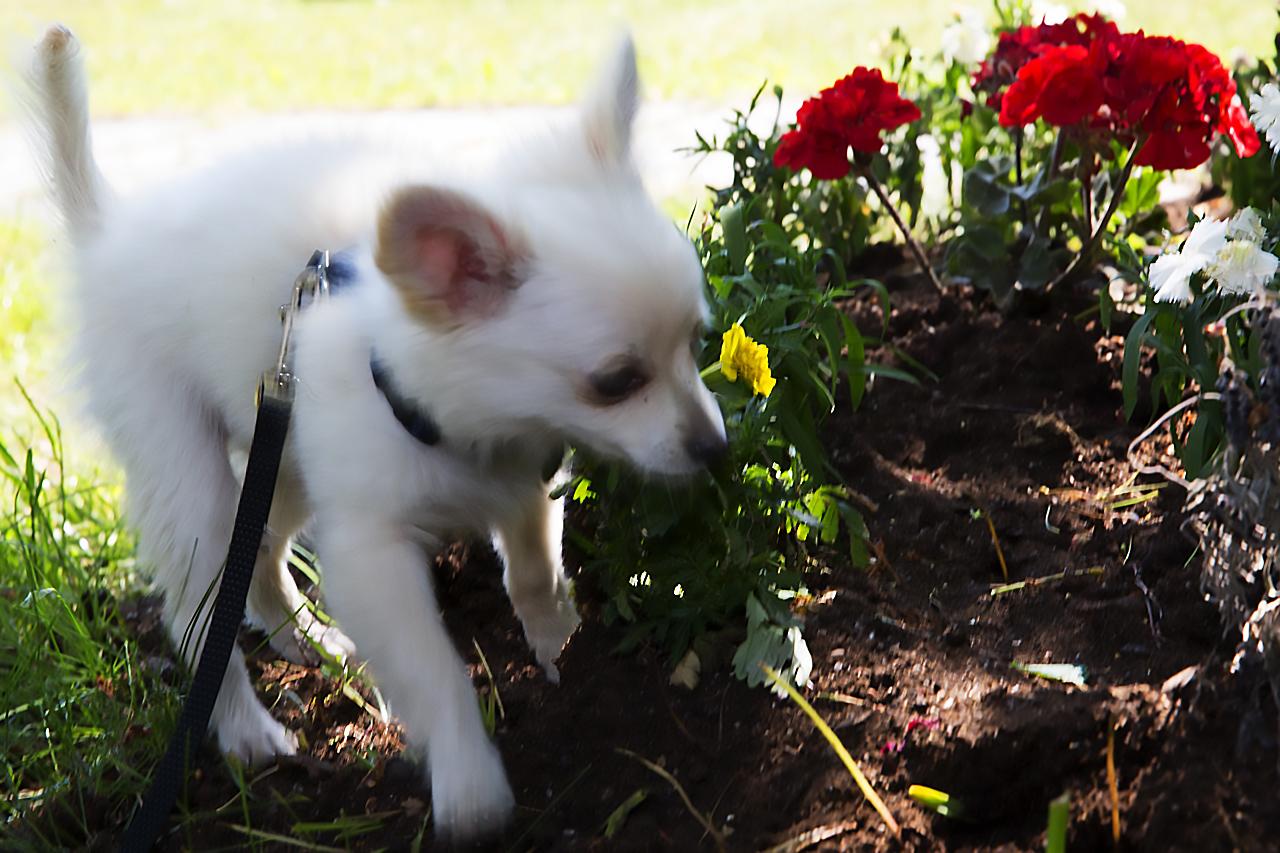 Bailey i blomrabatt.