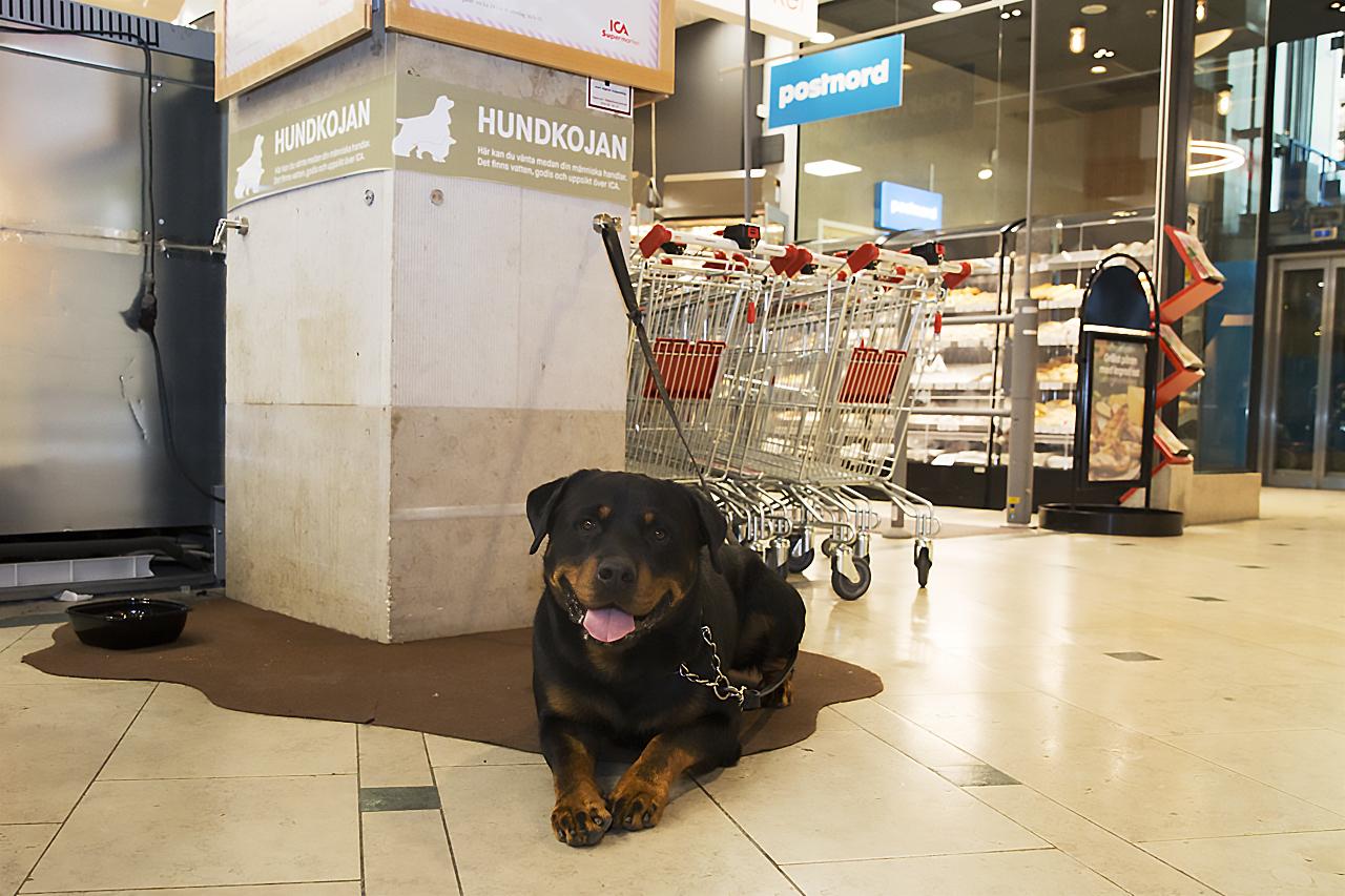 Rottweiler Tyson väntar.