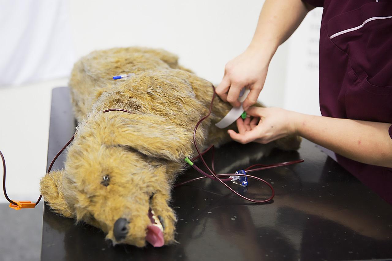 Hunddockan Gerry får blodslang kopplad.