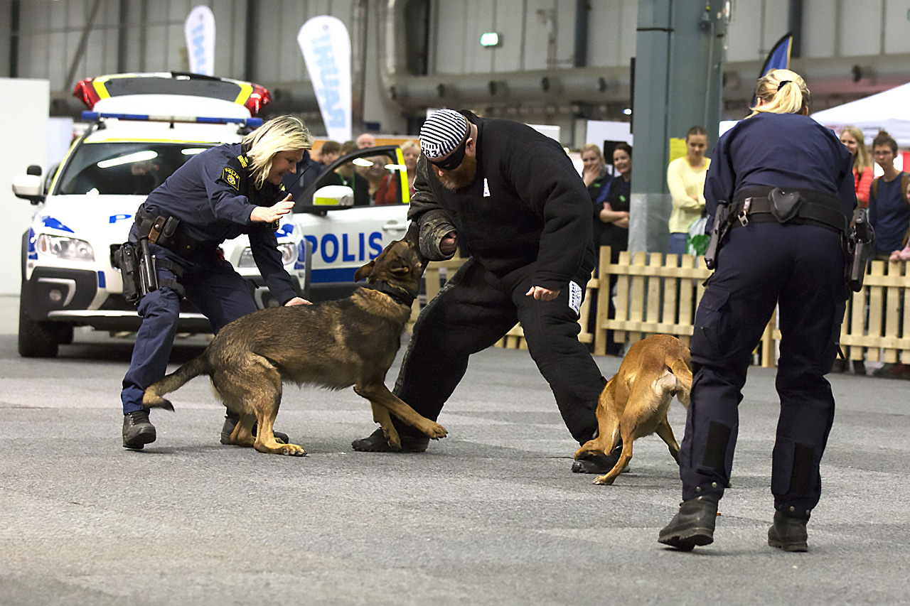 polishunden Hyss in action.