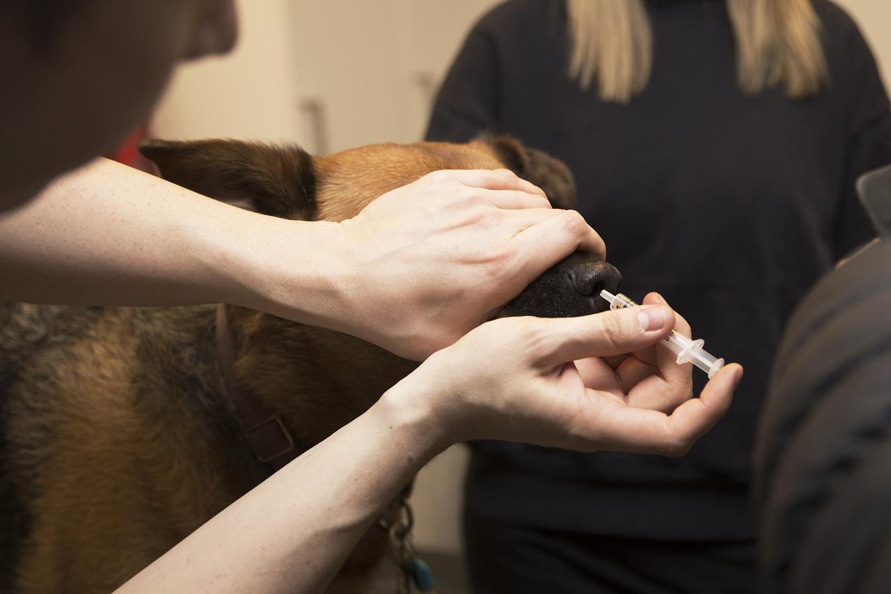 Saba vaccination mot Kennelhosta