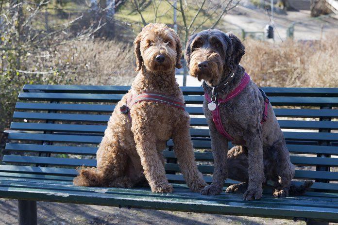 Samson och Dugga labradoodle