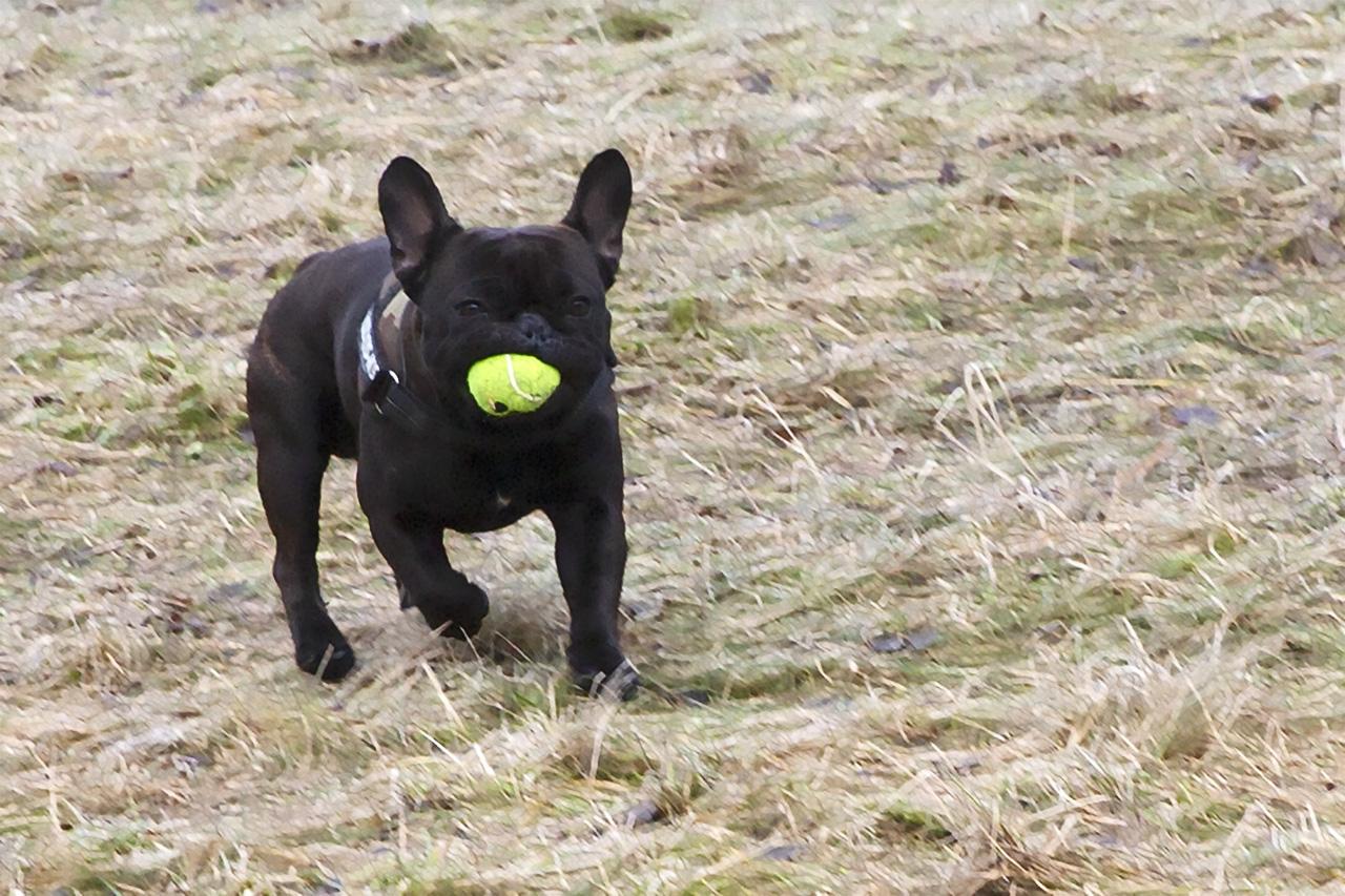 Baxter med Kong-boll