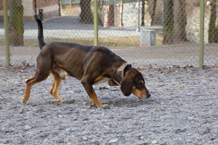 Tyson schäfer/blodhund testar rastgård på Södermalm
